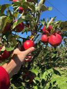 Bright red apples at DuBois Farms.